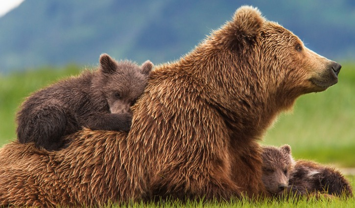 """Bears"" DisneyNature"